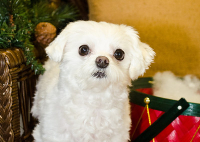 Holiday Pet Portraits-339