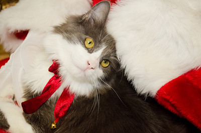 Holiday Pet Portraits-392